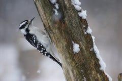 Female Downy Woodpecker Stock Photos