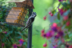 Female Downy Woodpecker Feeding on Suet. Female downy woodpecker woodpecker visits a feeder filled with suet on the back deck of a home located next to woodland Stock Photo