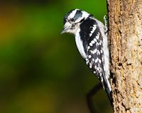 Female Downy Woodpecker. Standing on the edge of a branch against blue sky Royalty Free Stock Images