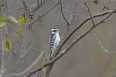 Female Downy Woodpecker in the Forest Royalty Free Stock Images