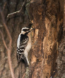 Female Downy Woodpecker looking for insects Royalty Free Stock Photo