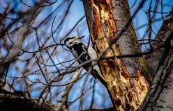 Female Downy Woodpecker on old growth maple tree with blue sky background. Female downy woodpecker perched on old growth maple tree, early spring, eastern Royalty Free Stock Photography