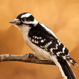 Female Downy Woodpecker. Perched on a branch Stock Photos