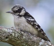 Female Downy Woodpecker. Perched on a large branch stock photos