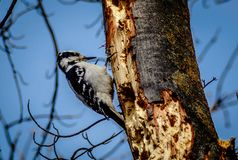 Female Downy Woodpecker on old growth maple tree with blue sky background. Female downy woodpecker perched on old growth maple tree, early spring, eastern Stock Image