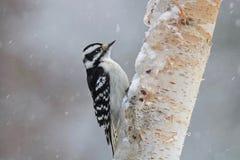 Little Female Downy Woodpecker in Winter Snow stock photo