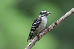 Female Downy Woodpecker Stock Photography
