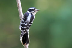 Female Downy Woodpecker Stock Image