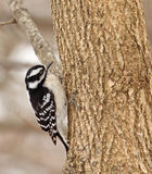 Female Downy Woodpecker Stock Photo