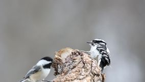 Female Downy Woodpecker (Picoides pubescens) on a tree stump stock video