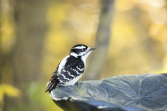 Female Downy Woodpecker at rest. Female Downy Woodpecker sitting on edge of bird bath. Fall colours in background. Dryobates pubescens Stock Image