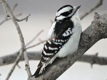 Female Downy Woodpecker sitting on a Branch Stock Photography