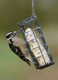 Female Downy Woodpecker Royalty Free Stock Photography