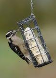 Female Downy Woodpecker Royalty Free Stock Photography