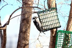 Female Downy Woodpecker On Suet Feeder Stock Photos