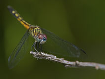 Female Dragonfly Blue Dasher Royalty Free Stock Image