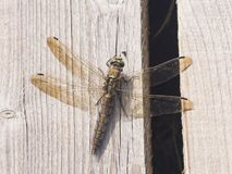 Female dragonfly Scarce Chaser or Libellula fulva macro on wooden plank, selective focus, shallow DOF Royalty Free Stock Photography