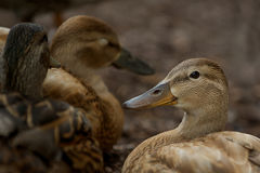 Female Duck. Royalty Free Stock Photos