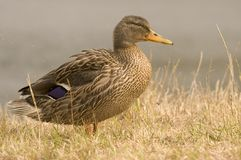Female Duck. A close up side on shot of a female duck (Mallard Royalty Free Stock Images