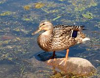 Female duck Stock Photos