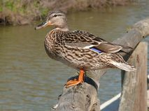 Female duck. Perched on a log royalty free stock photography