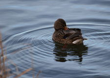 Female duck (Anas platyrhynchos) in slighly rippled water with reflections.  Royalty Free Stock Image
