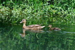 A female duck and a baby duck. Are swimming on a lake Royalty Free Stock Photography