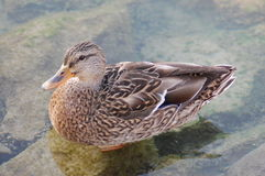 Female duck Royalty Free Stock Images