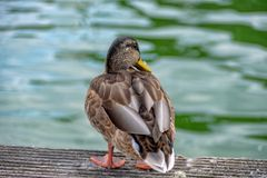 Female duck from behind on the jetty at Müggelsee stock photos