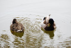 Female Duck Circled By Drake Royalty Free Stock Image