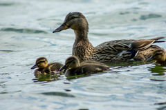 Female Duck closeup with ducklings swimming. A Female brown duck swimming in water with ducklings around her royalty free stock photography