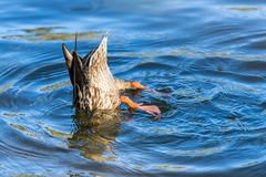 Female duck diving with legs in the air. A female duck with her feet in the air taking a drink in a lake Stock Image