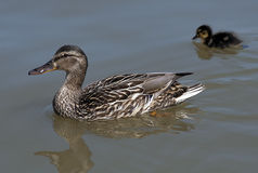 Female duck and ducking Royalty Free Stock Image