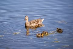 Female Duck with Ducklings. Swimming in a lake Royalty Free Stock Images