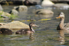 Female duck with ducklings. Female mallard duck with her ducklings in the water Stock Image