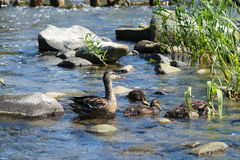Female duck with ducklings. Female mallard duck with her ducklings in the water Stock Images