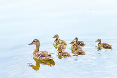 Female Duck and Ducklings on the River Stock Images
