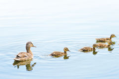 Female Duck and Ducklings on the River Royalty Free Stock Images