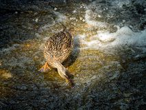 The female duck extracting food at the water in the waterfall. The a female duck extracting food at the water in the waterfall Royalty Free Stock Photo
