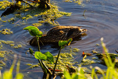 Female duck feeding in the pond at dawn. A female duck feeding in the pond at dawn Royalty Free Stock Photography