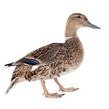 Female duck. In front of white background Stock Images