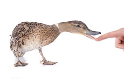 Female duck. In front of white background Royalty Free Stock Photos
