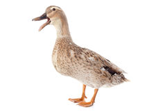 Female duck. In front of white background Stock Photo
