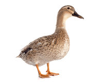 Female duck. In front of white background Royalty Free Stock Image
