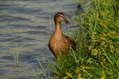 Female duck in the green grass near the water Stock Photos
