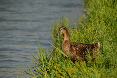 Female duck in the green grass near the water. A female duck in the green grass near the water Stock Photo