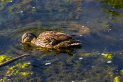 Female duck has found something to eat. A female duck has found something to eat Stock Images
