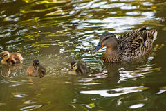 Female Duck and her babies Stock Photos