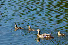 Female Duck and her babies Royalty Free Stock Photos