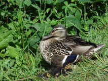 A female duck with her ducklings under her wing. Female duck on a grass verge with some of her ducklings underneath her wings in surrey england stock photo